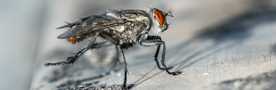 Where Did All These Flies Come From They Could Be Cluster