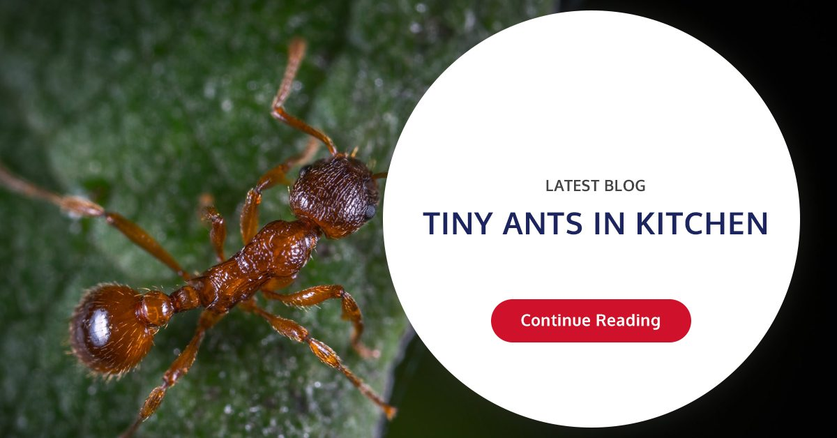 Tiny Ants In Kitchen Wil Kil Pest Solutions