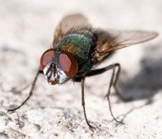 wisconsin cluster fly control, milwaukee cluster fly control, cluster fly extermination, cluster fly removal, cluster fly services, cluster flies, cluster flies in milwaukee, cluster flies in wisconsin