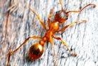 pharoah ants, pharoah ant, pharoah ant removal, pharoah ant control, pharoah ant exterminator, pharoah ant services, ant removal, ant control, ant exterminator, ants