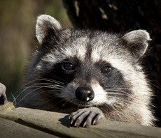 wisconsin wildlife control, milwaukee wildlife control, wildlife control in wisconsin, wildlife control in milwaukee, wildlife control, wildlife extermination, wildlife removal, wildlife services, raccoon removal, squirrel removal