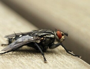 wisconsin fly control, milwaukee fly control, fly control in wisconsin, fly control in milwaukee, fly extermination, fly removal, fly services, flies