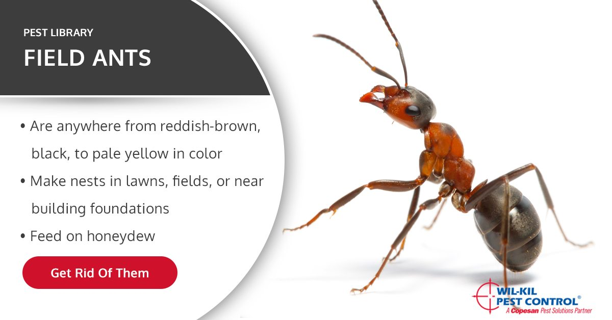 Field Ant Identification How To Get Rid Of Field Ants