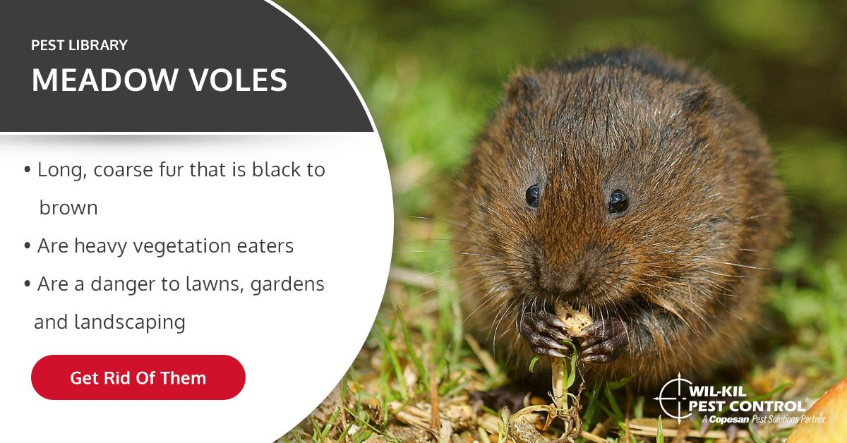 Meadow Vole Identification How To Get Rid Of Voles