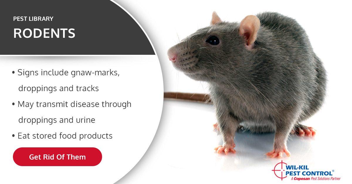 Common Rat Type Identification Norway Rats Roof Rats