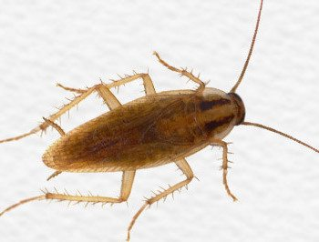 German Cockroach Identification Cockroaches Prevention Tips
