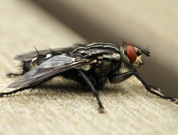 Fly Identification Prevention Information Get Rid Of Flies