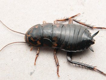 Oriental Cockroach Identification How To Get Rid Of