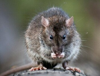 Common Rat Type Identification Norway Rats Roof Rats