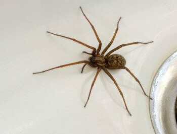 Common Spider Identification A Closer Look At House Spiders