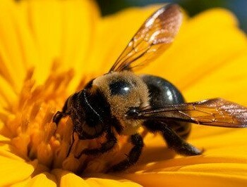honey bee and bumble bee, honey bees and bumble bees, honey bee and bumble bee removal, honey bee and bumble bee control, honey bee and bumble bee exterminator, honey bee and bumble bee services