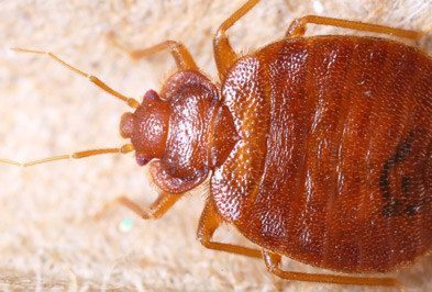 Will An Exterminator Get Rid Of Bed Bugs Wil Kil Pest Control