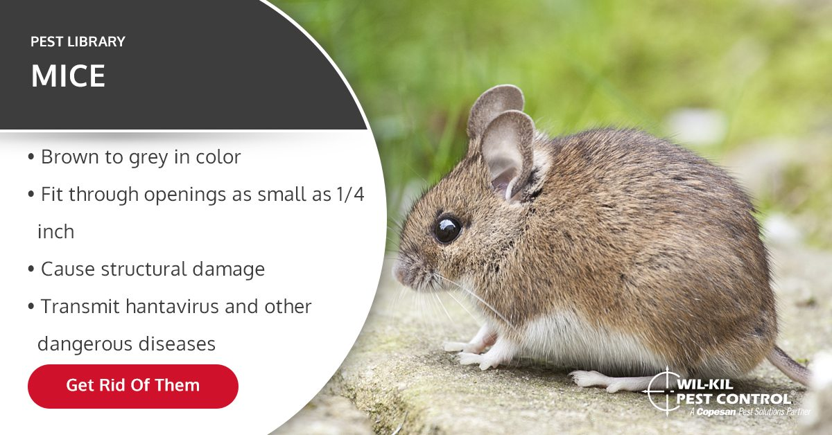 Mice Identification Prevention And Extermination Tips