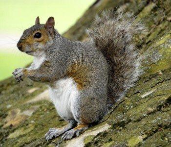 squirrel, squirrels, squirrel removal, squirrel control, squirrel exterminator, squirrel services