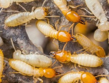 Termite Identification Prevention And Control Tips